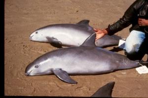 Werid Dolphin
