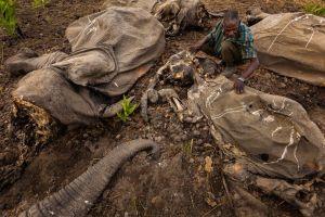 elephant corpse