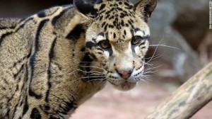Clouded Leopard Moby