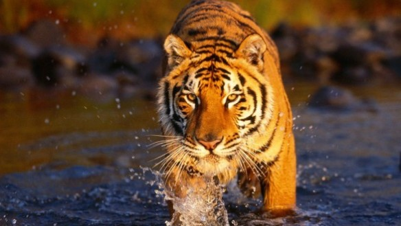 event-see-tigers-in-the-wild-and-see-the-taj-mahal-thumb